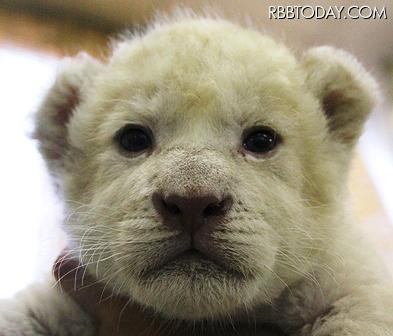 ホワイトライオンの赤ちゃんの ...