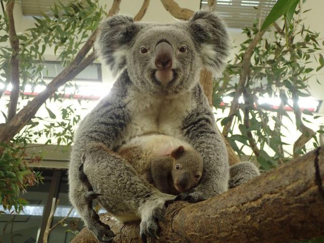 生後半年の赤ちゃんコアラを見に行こう埼玉こども動物自然公園 リセマム