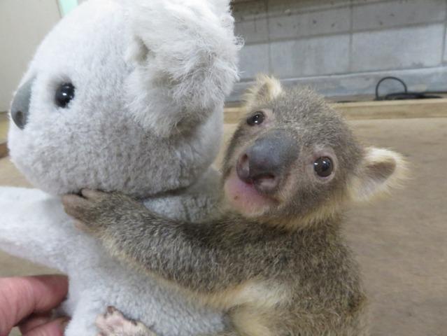 春休み2018赤ちゃんコアラの名前を決めようこども動物自然公園41 8