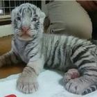 【夏休み】那須でホワイトタイガー誕生…8/12より赤ちゃんライオンと同時公開 画像