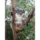 赤ちゃんコアラがママの袋から「こんにちは」…埼玉こども動物自然公園 画像