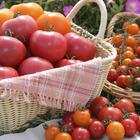 10/10はトマトの日…「桃太郎」トマト発売30周年 画像