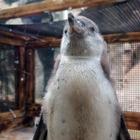 【話題】ここにも嵐!? 二宮、櫻井…アイドルペンギン現る 画像