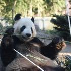 赤ちゃん待ってるよ、上野動物園のパンダ2頭繁殖に向け展示中止 画像