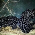 ぬいぐるみのような愛らしさ、ジャガーの赤ちゃん2頭が天王寺動物園で誕生 画像