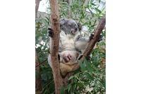 赤ちゃんコアラがママの袋から「こんにちは」…埼玉こども動物自然公園