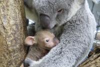 お名前投票受付け中、コアラの赤ちゃん2頭…こども動物自然公園 画像