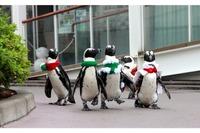 ちょこちょこ歩きのクリスマスペンギンパレード…シーパラ12/25まで 画像