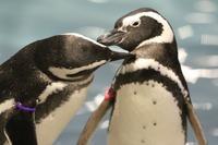 ペンギンも恋する季節、すみだ水族館でバレンタインイベント1/30-3/14 画像