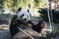 赤ちゃん待ってるよ、上野動物園のパンダ2頭繁殖に向け展示中止