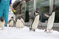 ペンギン祭り、仙台うみの杜水族館で開催 画像