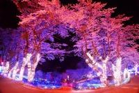都心から1時間、さがみ湖夜桜イルミネーション3/18-4/10