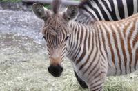 羽村市動物公園、シマウマの赤ちゃん誕生…愛称投票実施