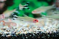 品種や飼育法を詳しく解説、スマホ用アプリ「熱帯魚&水草図鑑322選」 画像