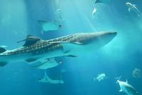 行ってよかった動物園&水族館、4年連続1位は「沖縄美ら海水族館」 画像