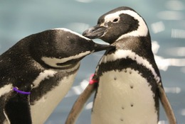 ペンギンも恋する季節、すみだ水族館でバレンタインイベント1/30-3/14