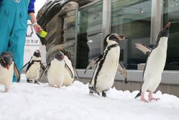 ペンギン祭り、仙台うみの杜水族館で開催