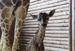キリンとワオキツネザルの赤ちゃん誕生、こども動物自然公園…名前投票も
