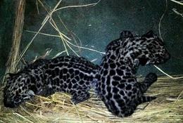 ぬいぐるみのような愛らしさ、ジャガーの赤ちゃん2頭が天王寺動物園で誕生