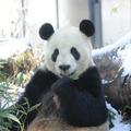 ジャイアントパンダ (c) 公益財団法人東京動物園協会