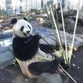 ジャイアントパンダのシンシン 写真:(公財)東京動物園協会