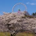 起伏に富んだ地形を活かし、見下ろすことも見上げることもできるように桜が植えられている