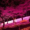 華やかなイルミネーションの光とライトアップされた桜が生み出す幻想的な空間