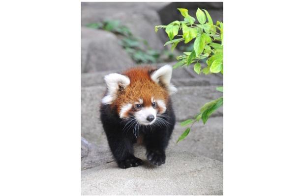 赤ちゃんレッサーパンダ「ティアラ」