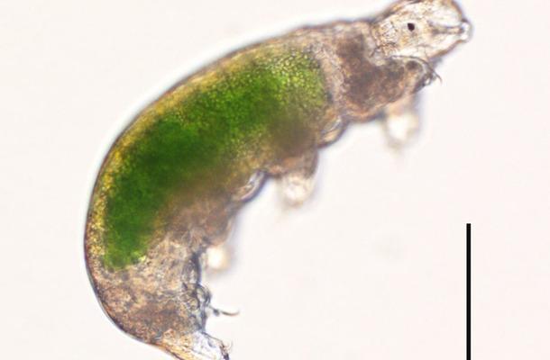 蘇生した南極クマムシSB-3系統の個体。腹部の緑色は餌のクロレラ。右の線は0.1ミリメートル。 (c) Tsujimoto M. et al. Cryobiology, 2015