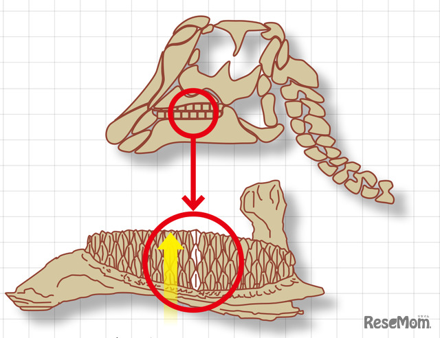 デンタルバッテリー:上の歯がすり減っても、下から次々と歯が出てくる。(Erickson et al.(2012)を参考に編集部で作成)