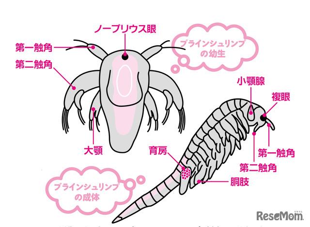 孵化したばかりのブラインシュリンプ(上)は脱皮を繰り返して大人(右)になる。ノープリウス幼生のころから引き継がれる形質もあるが、成長の途中で獲得するものも多い。